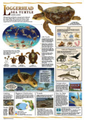 FREE Florida Sea Turtle Life History Poster